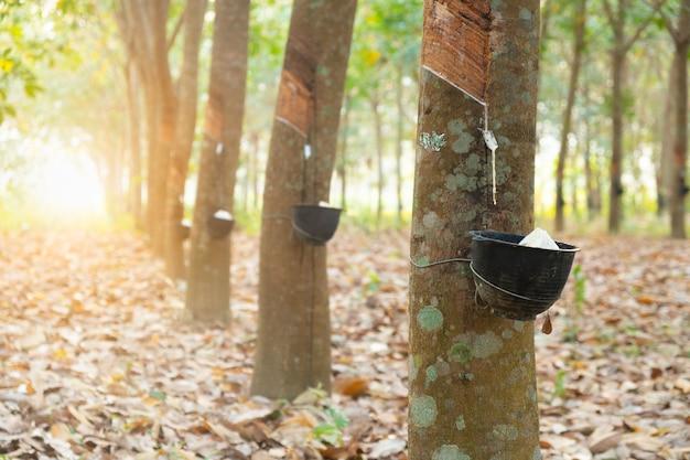 Giardino dell'albero della gomma in asiatico. lattice naturale estratto dalla pianta della gomma para. il bicchiere di plastica nera viene utilizzato per misurare il lattice dall'albero.