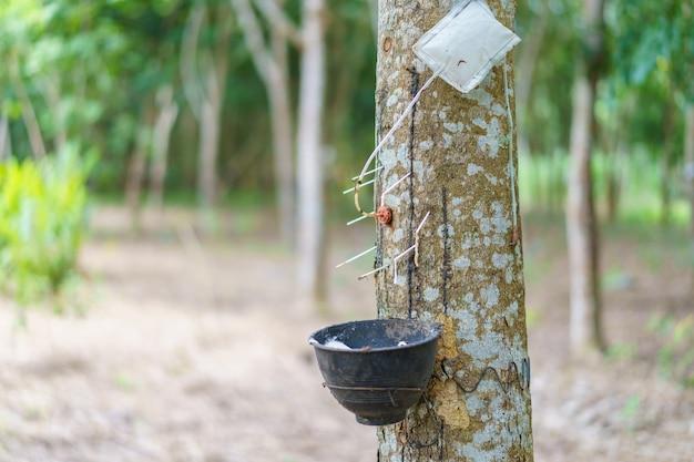 L'albero della gomma (hevea brasiliensis) produce lattice utilizzando gas etilene per accelerare la produttività. lattice come il latte condotto in guanti, preservativi, pneumatici, pneumatici e così via.