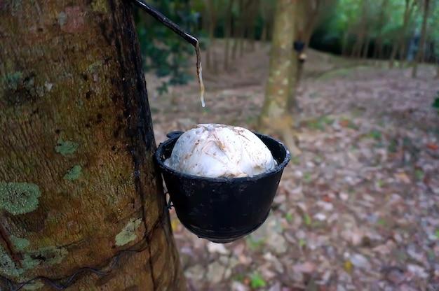 Piantagione di alberi della gomma, thailandia. come estrarre la gomma dall'albero della gomma.