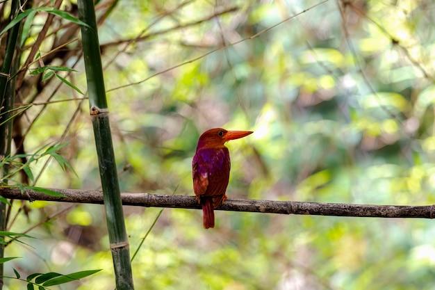 Ruddy kingfisher halcyon coromanda bellissimo uccello che si appollaia su un ramo di albero con sfondo sfocato