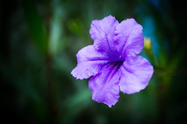 Ruellia tuberosa o cracker, una piccola pianta biennale nella famiglia delle acanthaceae