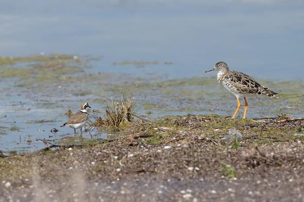 Un gorgiera (calidris pugnax) e un po 'di piviere inanellato (charadrius dubius) stsnds insieme sulla riva
