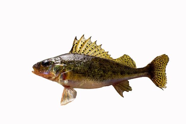 Pesce gorgiera isolato su sfondo bianco