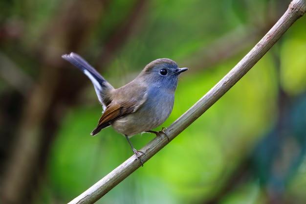 Flycatcher rufous-gorgeted ficedula strophiata bei uccelli femminili della tailandia che si appollaiano sull'albero
