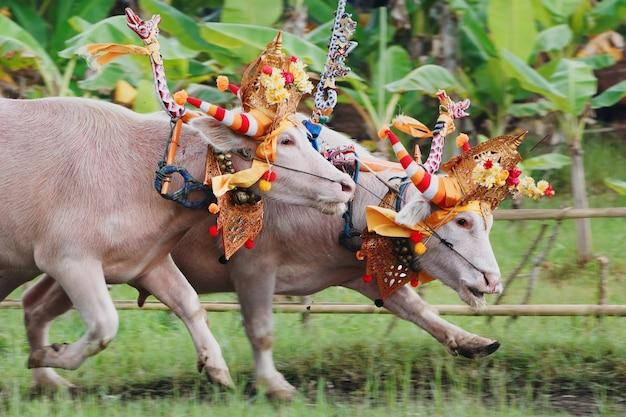 Tori in corsa decorati da maschere cerimoniali barong, bellissime decorazioni in azione alle tradizionali gare balinesi del bufalo d'acqua ai festival di makepung in indonesia, isola di bali.