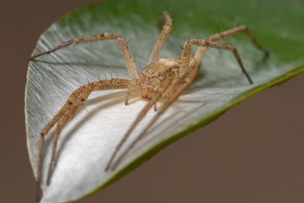 Esecuzione di ragno granchio della famiglia philodromidae
