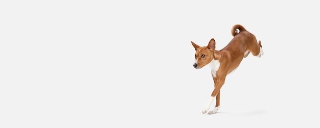 In esecuzione. cucciolo dolce sveglio del cane o dell'animale domestico sveglio di basenji che posa con la palla isolata sulla parete bianca. concetto di movimento, amore per gli animali domestici, vita animale. sembra felice, divertente. copyspace per l'annuncio.