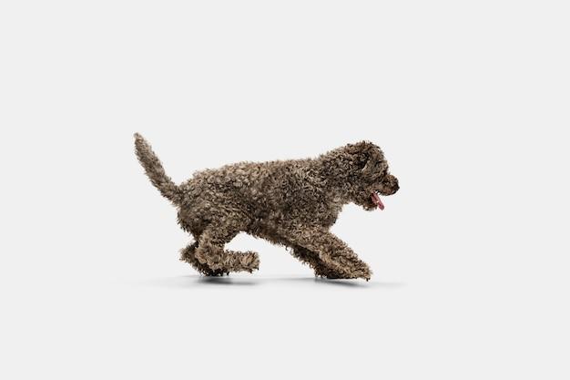 In esecuzione. carino dolce cucciolo di lagotto romagnolo simpatico cane o animale domestico in posa su bianco