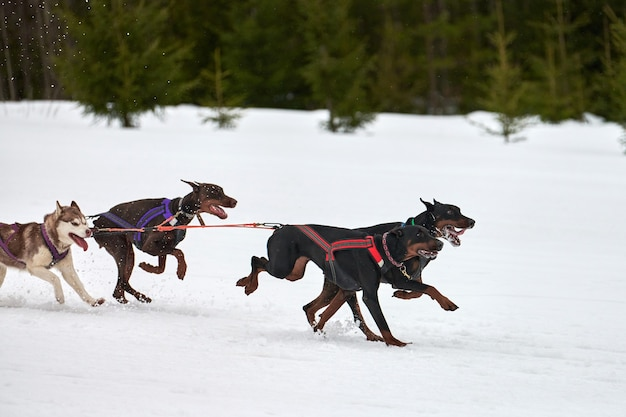 Esecuzione di cane doberman sulle corse di cani da slitta. concorso a squadre di slitte trainate da cani invernali