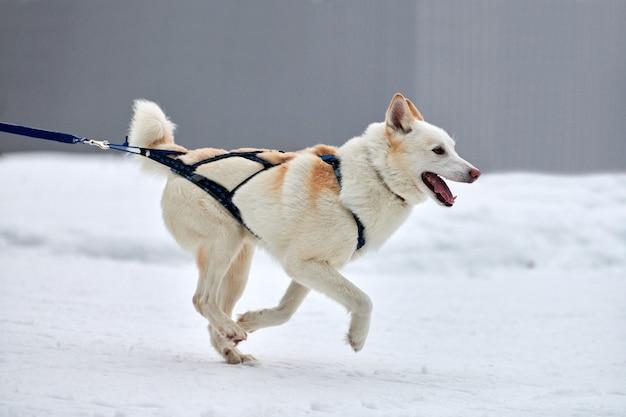 Esecuzione di cani husky sulle corse di cani da slitta. concorso a squadre di slitte trainate da cani invernali