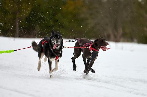 Esecuzione di corse di cani da slitta in inverno