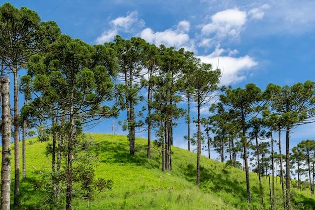 Paesaggio rurale con araucarie sulla collina