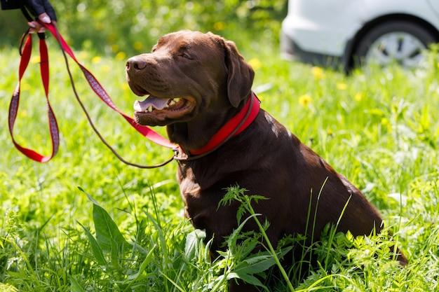 Russia. vyborg. 05.05.2021 un cane labrador si siede sull'erba nel parco. foto di alta qualità