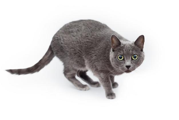 Gatto blu russo su fondo bianco