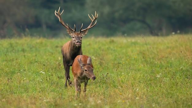 Cervo in calore di cervo rosso che annusa per i profumi di una cerniera in calore