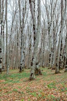 Foresta di sabaduri in primavera, un bel posto a nord di tbilisi. paesaggio