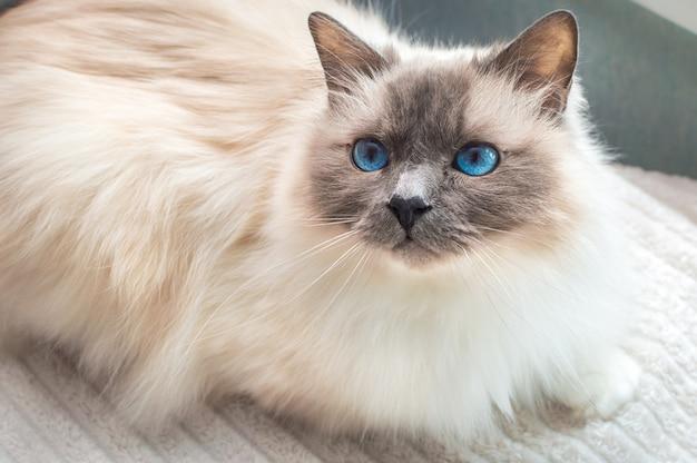 Gatto sacro di birmania. gatto birmano con gli occhi azzurri