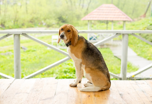 Triste cane seduto da solo sul pavimento della veranda.