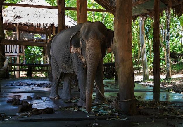 Elefante triste incatenato a piedi in un allevamento di elefanti in thailandia sull'isola di koh chang