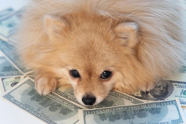 Il cagnolino triste giace su soldi, banconote da cento dollari usa e moneta d'oro. risparmio