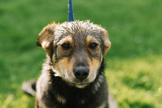 Un triste cane di razza mista sembra triste dopo la pioggia e sta cercando i proprietari nel canile