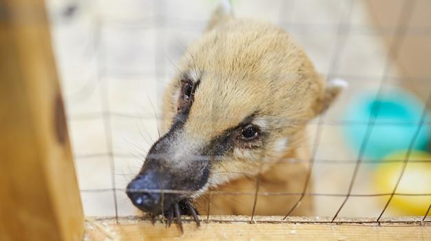 Zoo da accarezzare con coati rosso triste