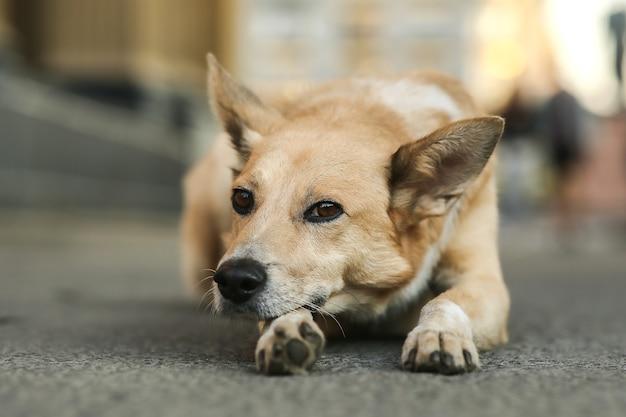 Triste piccolo cane da pastore marrone che guarda lontano e pensa mentre giace sulla strada