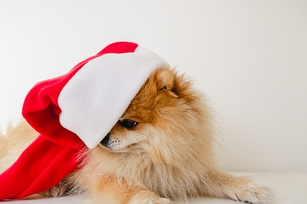 Triste infelice piccolo cane cucciolo di pomerania in cappello rosso di babbo natale a natale guardando verso il basso