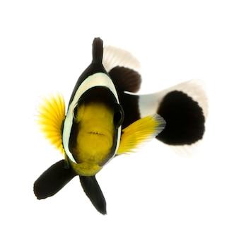 Pesce pagliaccio da sella - amphiprion polymnus su bianco