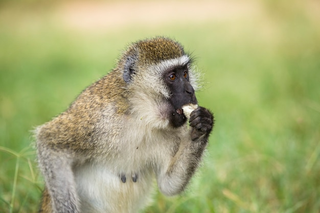 Safari in macchina nel parco nazionale di nakuru in kenya, africa. una scimmia dalla faccia nera in riva al lago
