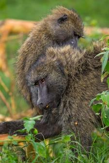 Safari in macchina nel parco nazionale di nakuru in kenya, africa. una famiglia di scimmie che si puliscono le pulci a vicenda