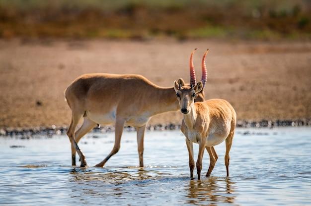 L'antilope saiga o la saiga tatarica beve nella steppa
