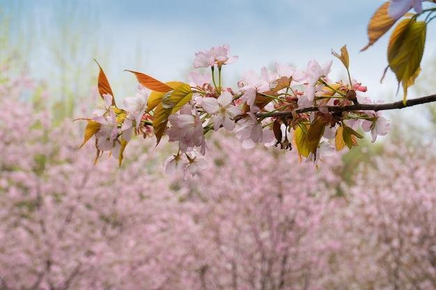 Ramo di sakura su uno sfondo di alberi rosa in fiore