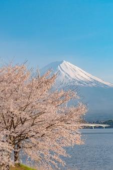 I fiori di ciliegio sakura sono in piena fioritura in primavera e il monte. fuji dal lago kawaguchiko yamanashi, giappone