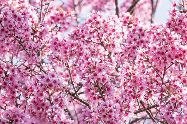 Sakura cherry blossom in piena fioritura
