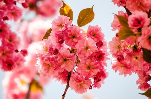Fiore di sakura su cielo blu. fiori di ciliegio primaverili.