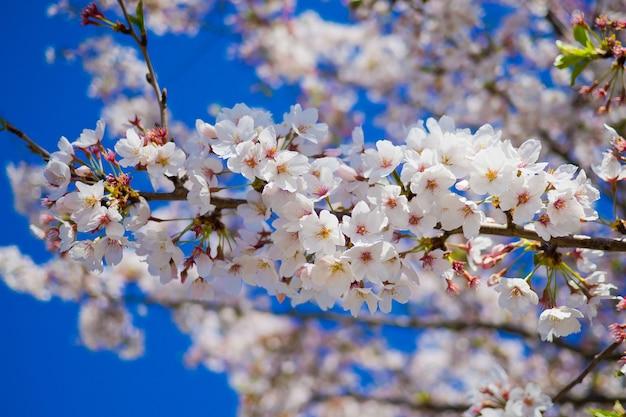 Fiore di sakura, fondo della natura, fiore al giappone