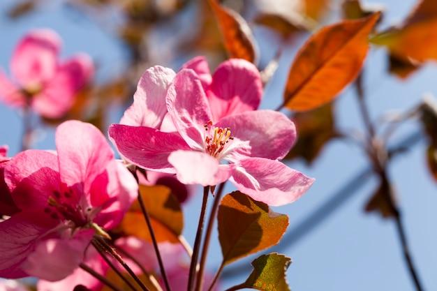 Sakura in primo piano primaverile, fiori di ciliegio rosa in primavera, bellissimi fiori su un albero da frutto