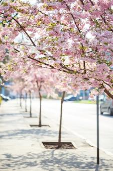 Via sakura. vista dell'albero di sakura in piena fioritura sulla strada