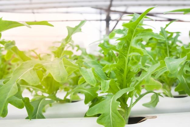 Insalata di verdure in serra