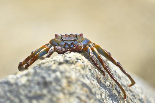 Sally lightfoot crab o rock crab (grapsus grapsus) alla ricerca di cibo tra le rocce dove le onde colpiscono.
