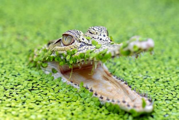 Coccodrillo di acqua salata in uno stagno pieno di alghe