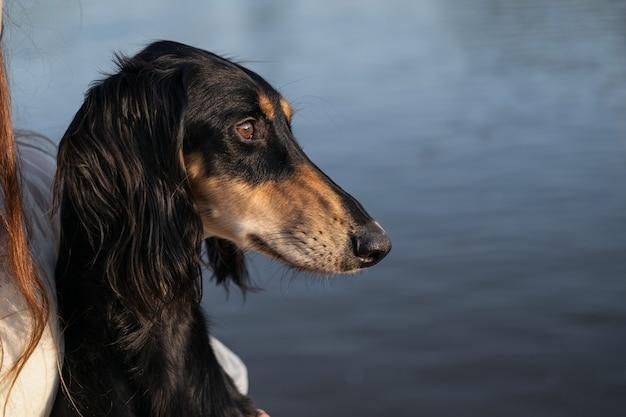 Cane saluki. nero e beige. vicino al fiume. vista laterale. occhi marroni. levriero persiano devoto close up ritratto foto di alta qualità