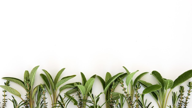 Foglie di rosmarino salvia officinalis isolate su sfondo bianco