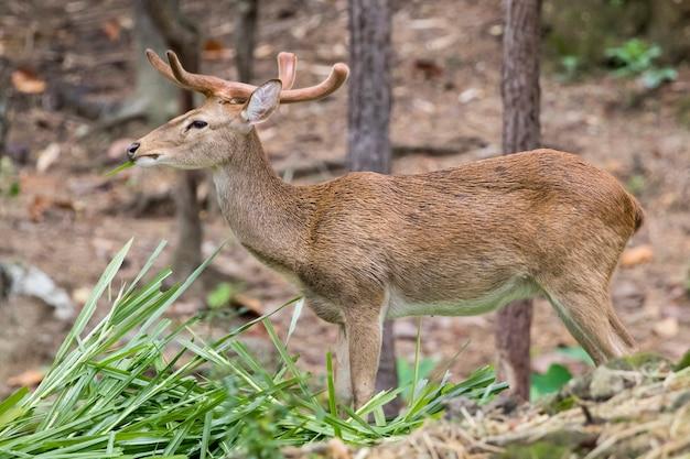 Un cervo sambar che mastica erba nella foresta.