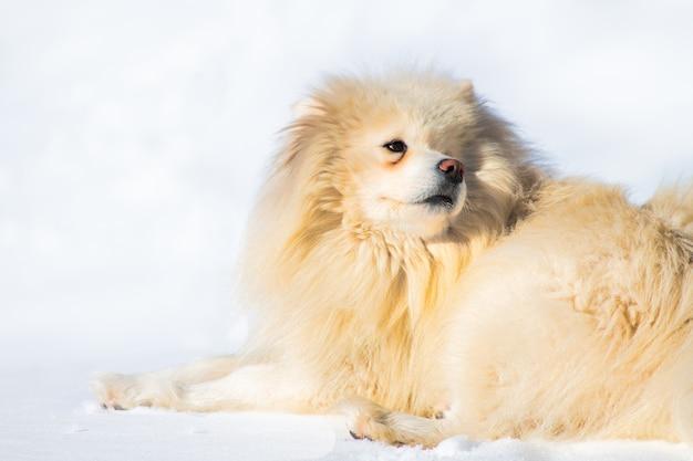 Cane samoiedo che gioca nella neve