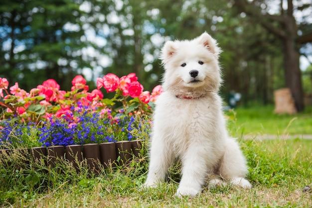 Cucciolo di cane samoiedo è seduto vicino all'aiuola in giardino