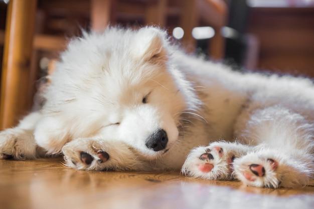 Cucciolo samoiedo posa sul pavimento e dormire