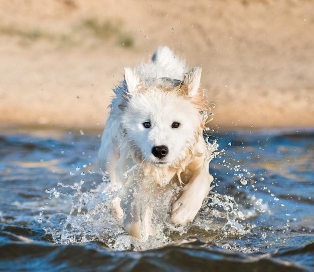 Cucciolo di samoiedo nuoto