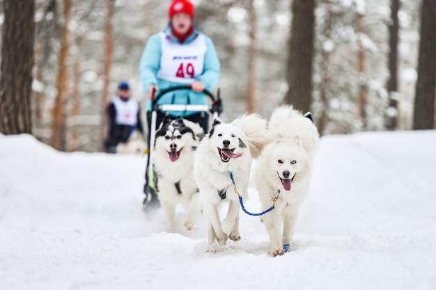 Competizione di gare sportive con cani da slitta samoiedo